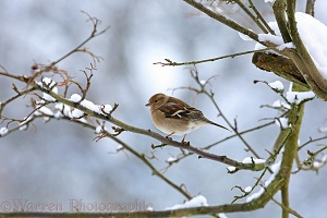 Chaffinch hen in winter