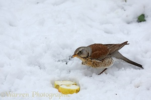 Fieldfare eating apple