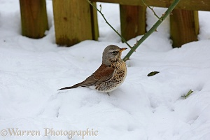 Fieldfare in snow