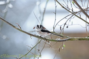 Long-tailed Tit in winter