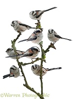 Long-tailed tit montage