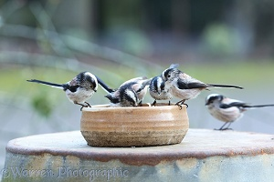 Long-tailed tits feeding