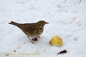 Song Thrush eating apple