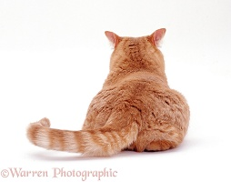 Ginger cat, back view