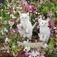 Blue-eyed white kittens at bird bath among flowers