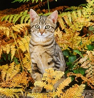 Tabby kitten and bracken