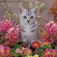 Silver tabby kitten with catkins and flowers