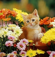 Ginger kitten and flowers