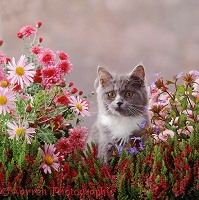 Grey-and-white kitten among pretty flowers