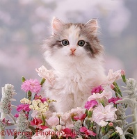 Fluffy kitten, 8 weeks old, among pink flowers