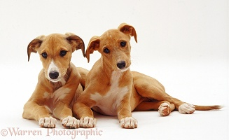 Saluki puppies, 12 weeks old, lying together