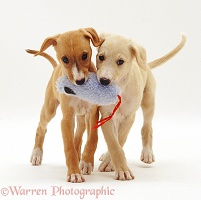 Saluki puppies playing with a toy