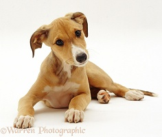 Whippet Lurcher puppy