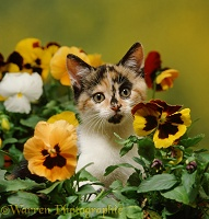 Calico kitten among pansy flowers