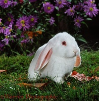 Young white French Lop rabbit among flowers
