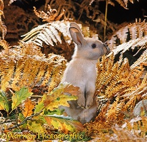 Madagascan Dwarf rabbit among autumn Bracken