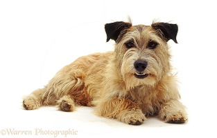 Patterdale x Jack Russell Terrier