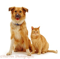 Dog and ginger cat