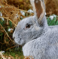 Blue Beveren rabbit doe