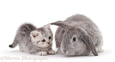 Silver-spotted kitten with silver Lop rabbit