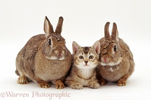Two agouti rabbits with a ticked tabby kitten