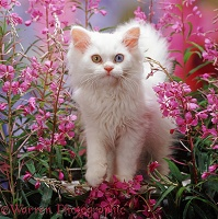 White kitten among pink flowers