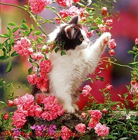Black-and-white Persian-cross kitten and flowers
