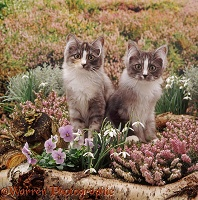 Kittens among winter heaths and flowers