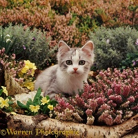 Kitten among heather