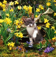 Blue-and-white kitten among Daffodils