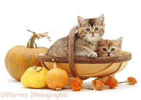 Tabby kittens in a trug with pumpkins