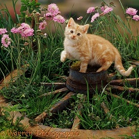 Ginger kitten on old wagon wheel