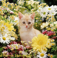 Cream kitten among daisy and chrysanthemum flowers