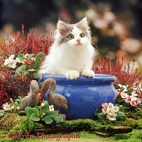 Grey-and-white kitten in a blue urn with pink flowers