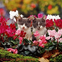 Blue bicolour kittens among dwarf cyclamen flowers
