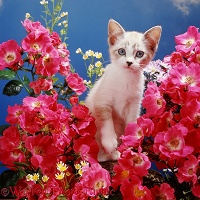 Kitten and pink roses