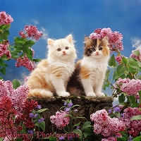 Cream and calico kittens with pink lilac flowers