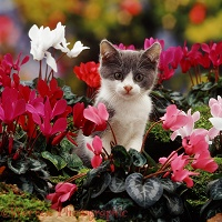 Blue bicolour kitten among dwarf cyclamen flowers