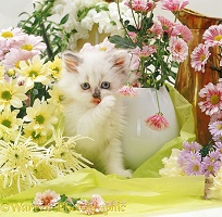 Persian x Birman kitten among flowers