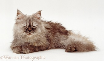 Sleepy Grey Persian kitten dozing