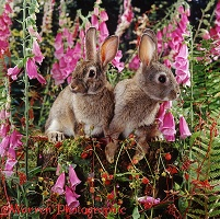 European wild rabbits among Foxgloves