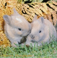 Baby Madagascan Dwarf rabbits among autumn Bracken