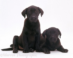 Two black Labrador Retriever puppies