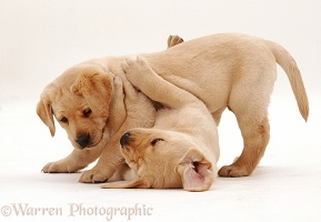 Play-fighting Labrador puppies