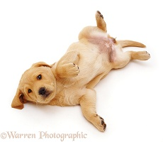 Yellow Labrador Retriever puppy, rolling over in submission
