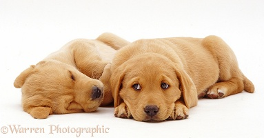 Sleepy Labrador puppies