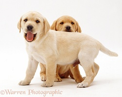 Two Yellow Labrador Retriever pups, 6 weeks old