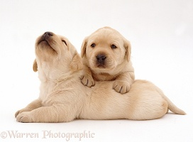 Two Yellow Labrador Retriever pups, 3 weeks old