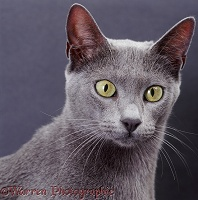 Blue Bengal x Burmese cat on grey background