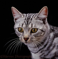 Silver tabby female cat on black background